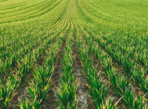 Feld Hintergrund - Weizen Feld am wachsen im Frühling