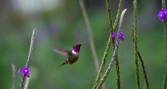 Male Magenta-throated Woodstar hummingbird sizes up small purple flower as a source for a meal
