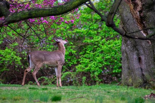 A Deer Eating Flowers off a Tree