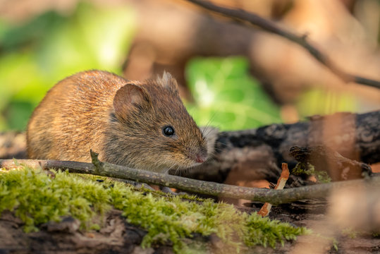 Cute little mouse in the woods