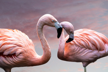 American Flamingos. The American flamingo (Phoenicopterus ruber) is a large species of flamingo also known as the Caribbean flamingo Fototapete