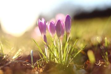 Autocollant pour porte Crocus Close-up Of Purple Crocus Growing In Field