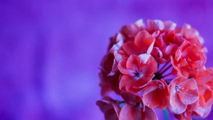 Poster de jardin Dahlia flower on a pink-purple background