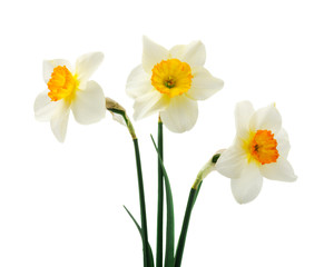 Photo sur Aluminium Spring floral border, beautiful fresh daffodils flowers, isolated on white background. Selective focus
