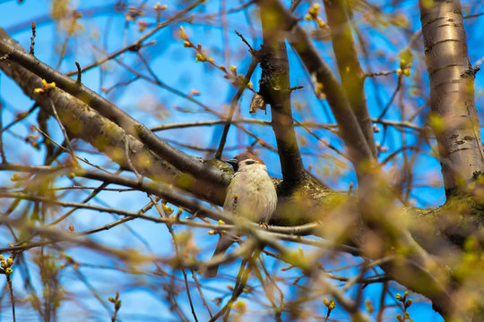 Sparrow on a blossoming spring tree