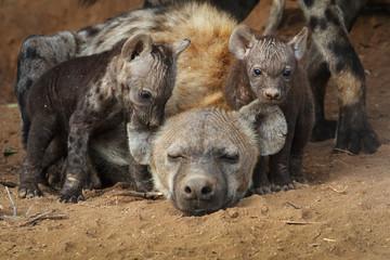 Photo sur Plexiglas Hyène hyena cubs