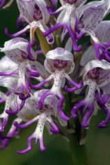 monkey orchid / Affen-Knabenkraut (Orchis simia), Mt. Olympos, Greece / Olymp, Griechenland