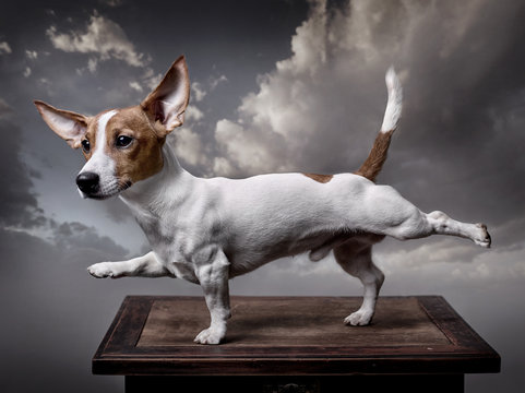 A dog, Jack Russell Terrier stretches its front right and back left legs, tail is raised up. Background - grey clouds.