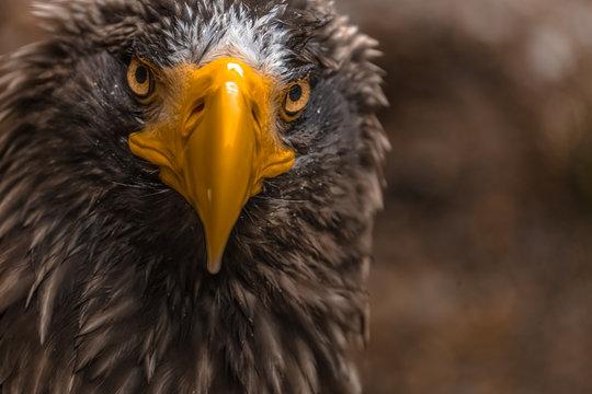 Stellers Sea Eagle Close Up
