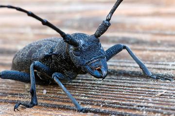 Very close up shot of an oak capricorn (longiformes species)