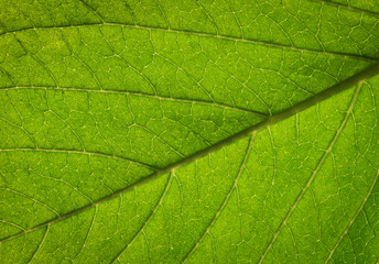 Wall Mural - Close up of Green leaf texture background