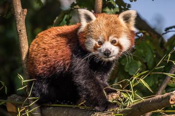 Fototapeta red panda, chester zoo, cheshire, england obraz