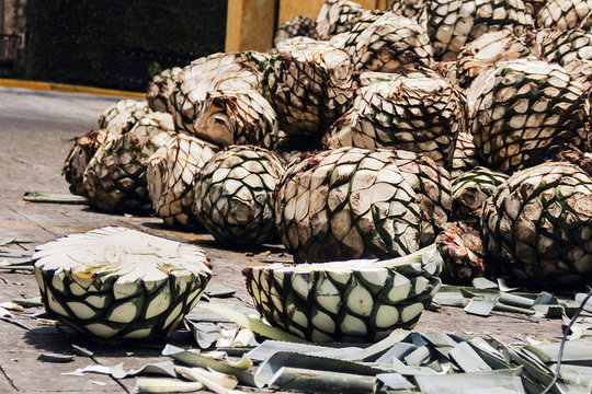 Tequila Agave in distillery waiting for processing, Jalisco Mexico