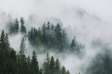 Panoramic View Of Trees In Forest During Foggy Weather
