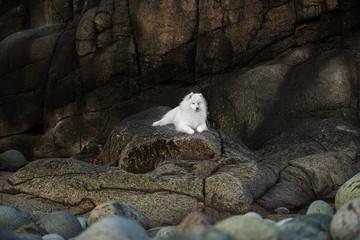 Fototapete - Beautiful Samoyed Laika dog on rocks and stones