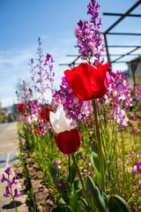 Fotobehang Begraafplaats 花壇に咲いているチューリップとリナリア