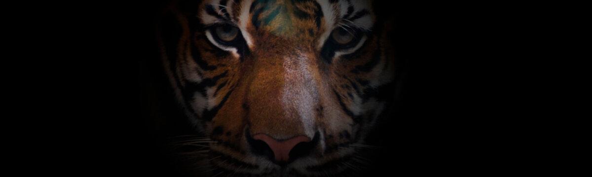 Close up of  a face bengal tiger.