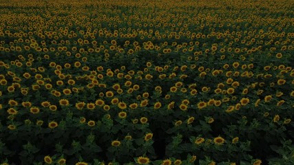 Wall Mural - evening sunflower field at the time of blossom aerial view