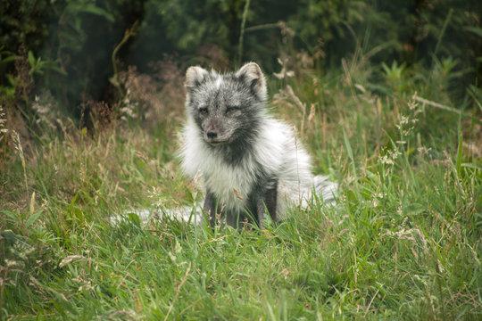 Artic Fox On Grassy Field