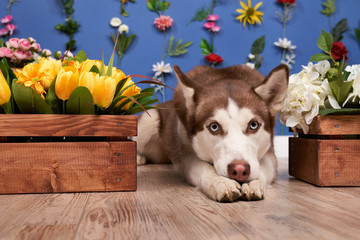 Young husky posing. Cute playful white and brown dog looks happy isolated in background with fixed flowers on wall empty space for inserting text and ads advertising. Fulllength pet lying down looking