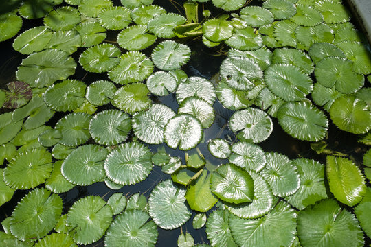 High Angle View Of Lily Pads On Pond