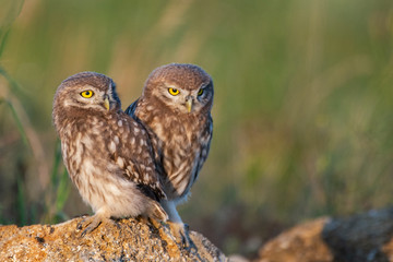 Fototapete - Two Little Owl Athene noctua, stands on a rock. Portrait close up