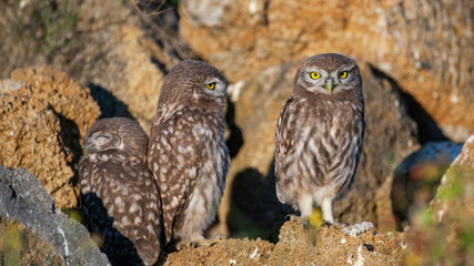 Fototapete - The Little Owl Athene noctua, three lovely young owls are sitting at their burrow