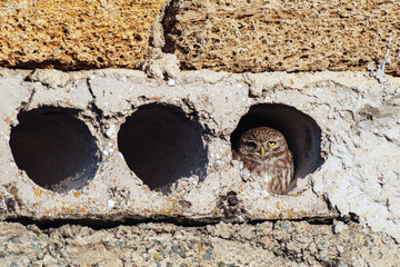 Fototapete - Little owl, Athena Noctua looks out of her hole