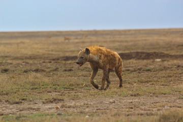 Keuken foto achterwand Hyena Hyäne in der Serengeti