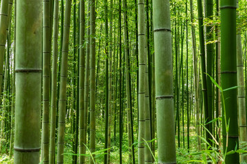 Printed roller blinds Bamboo Bamboo forest pattern. Arashiyama Bamboo Forest Kyoto.
