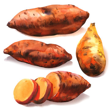 Sweet potato root, batata, whole with slices, organic food, vegetable, isolated, close-up, hand drawn watercolor illustration on white background