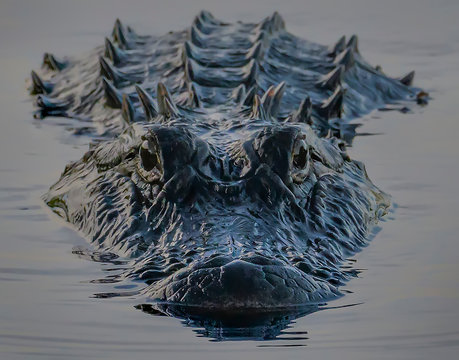 alligator in the water