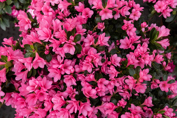 Wall Murals Candy pink beautiful rhododendron flowers in the garden