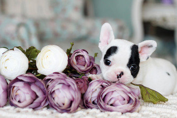 white and black little French bulldog indoor
