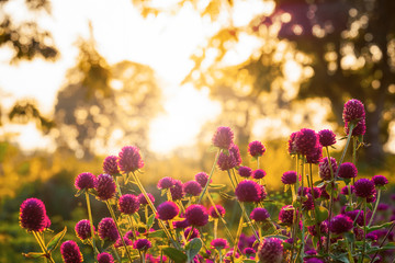 Wall Mural - Beautiful wild flower with back light of sunset indicate the warmth of nature and the beauty of flowers in summer.