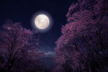 Wall Mural - Romantic night scene - Beautiful cherry blossom (sakura flowers) in night skies with full moon. fantasy style artwork with vintage color tone.