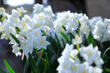 Poster de jardin Narcisse 満開の白い水仙 White narcissus in full bloom
