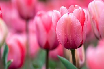 Spoed Foto op Canvas Roze チューリップの花 春イメージ