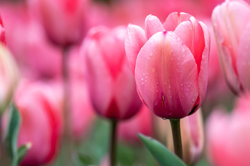 Foto auf AluDibond Rosa チューリップの花 春イメージ