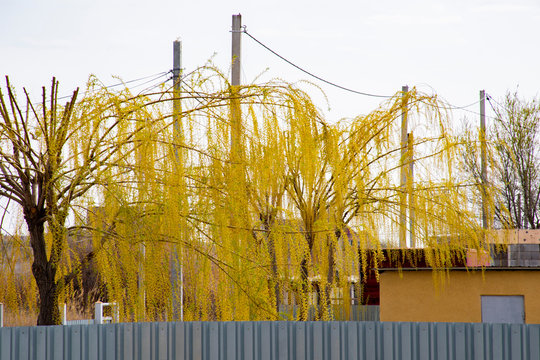A weeping willow stands near the house.