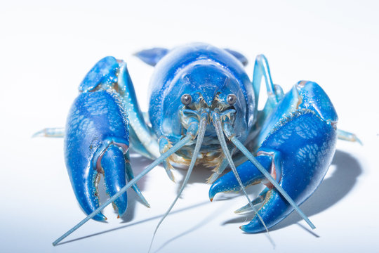 Close-up Of Blue Lobster Against White Background