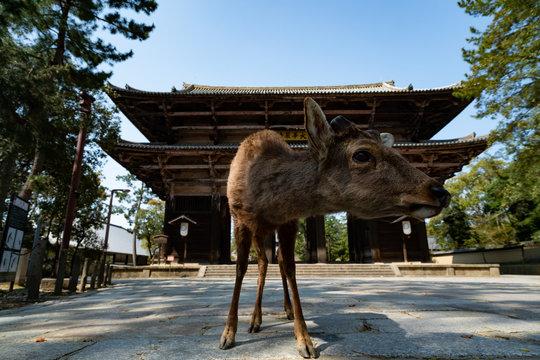 Todaiji and Nara park during the coronavirus crisis.