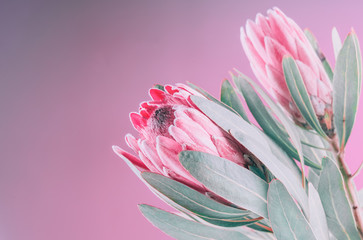 Klistermärke - Protea flowers bunch. Blooming Pink King Protea Plant over pink background. Extreme closeup. Holiday gift, bouquet, buds. One Beautiful fashion flower macro shot. Valentine's Day gift