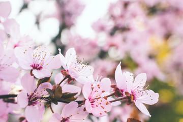 Obraz Kwitnące drzewo wiśni wiosną w ogrodzie - fototapety do salonu