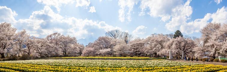 Photo sur cadre textile Narcisse 実相寺 桜と水仙の花畑