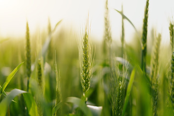 wheat in farm Fotomurales