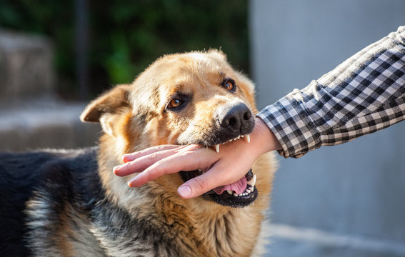 An adult, aggressive male German shepherd attacks a man and bites his hand. Training pets.