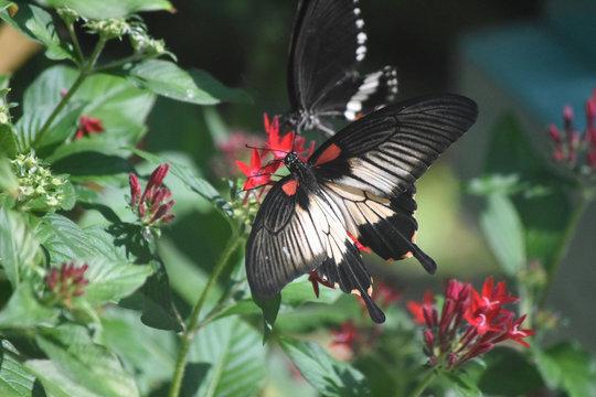 Beautiful swallowtail butterfly resting on a flower