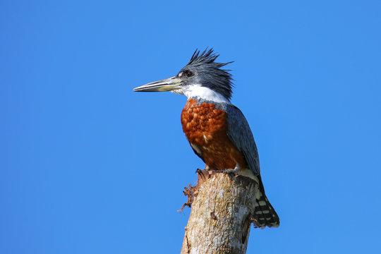 Ringed kingfisher (Megaceryle torquata) sitting on a wooden pole
