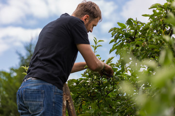 Fototapeta Mężczyzna przycina gałęzie jabłoni w sadzie obraz